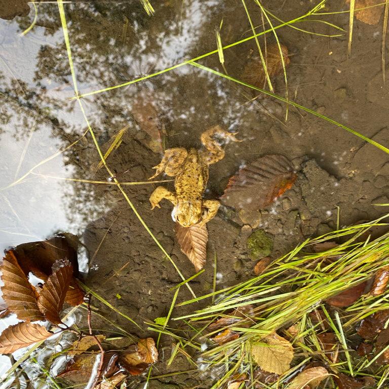 Frosch-in-der-Düssel